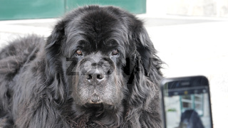Big black dog being photographed with smartphone