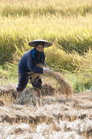 THAILAND LAMPANG AGRICULTURE RICE FIELD