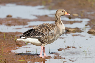 Greylag Goose in a national park in Iceland