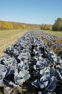 Brassica oleracea, Rotkohl, cabbage