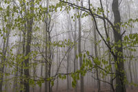 Beech forest in fog, Ore mountains, Bohemia, Czech Republic