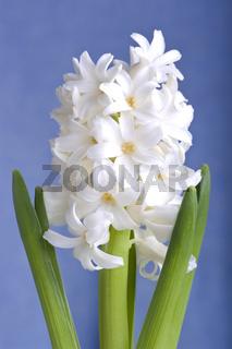Hyazinthe, Hyacinthus, Asparagaceae