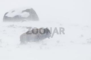 harte Lebensbedingungen... Amerikanischer Bison *Bison bison*