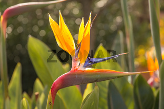 Strelitzia - A beautiful coloured flower