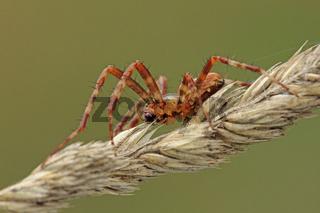 Gartenkreuzspinne (Araneus diadematus)