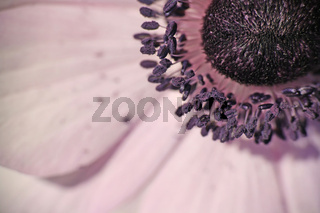 Detail einer Anemone,  detail of a poppy anemone