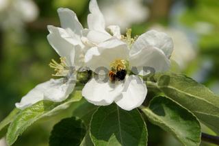 Malus sylvestris, Wildapfel, Apple