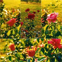 Roses in the autumn garden backlit, collage set of colorized images