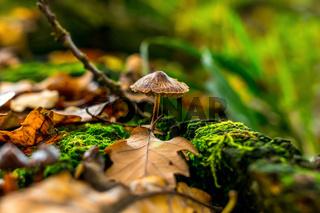 Pilz an Eichenblatt