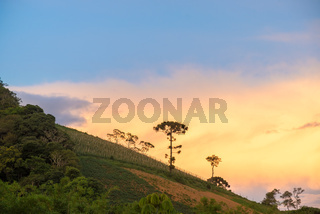 Old araucaria tree on the hill mountain