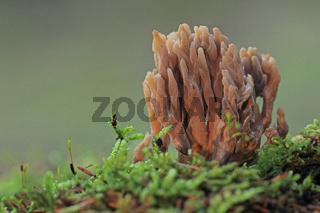Koralle (Ramaria)