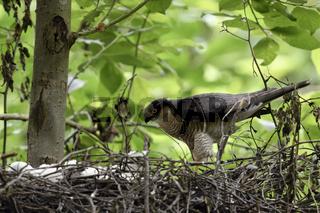 Sperberterzel... Sperber *Accipiter nisus*, Männchen schaut am Nest nach seinem Nachwuchs