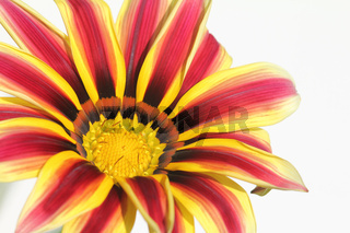 gestreifte Mittagsblume,  striped gazania