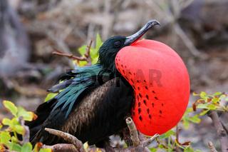 Male Great Frigatebird on Genovesa Island, Galapagos National Park, Ecuador