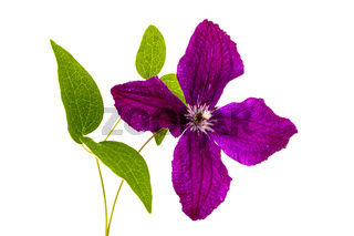 Purple clematis flower, isolated on white background