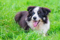 Odd eye border collie lying in  grass