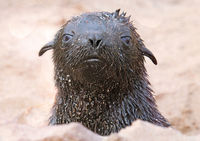 South African fur seal, cape cross