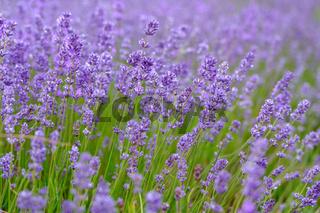Lavenders Close Up View