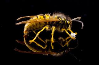 Deutsche Wespe (Vespula germanica) nascht Zucker -  German wasp (Vespula germanica)