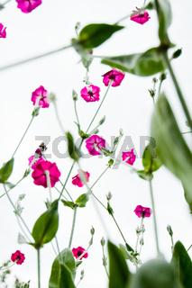 Kronenlichtnelke, Blume