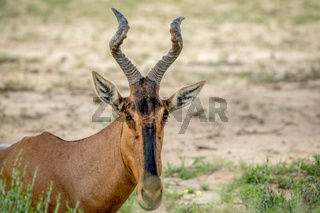 Close up of a Red hartebeest in Kalagadi.
