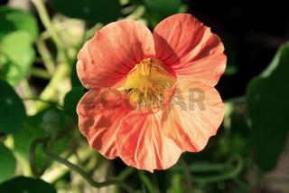 Kapuzinerkresse, Blüte, rot