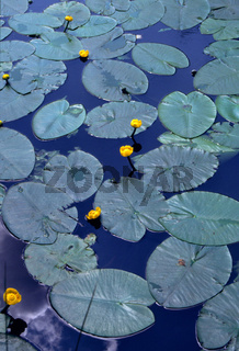 Nuphar lutea, Teichrose, yellow water-lily