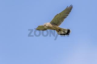 Turmfalke (Falco tinnunculus))