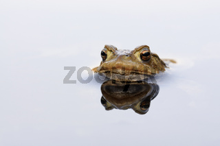 der Erdkrötenmann... Erdkröte *Bufo bufo*