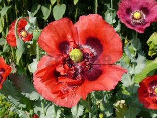 Papaver somniferum, Schlafmohn, opium poppy