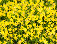 Floral background of yellow daffodils
