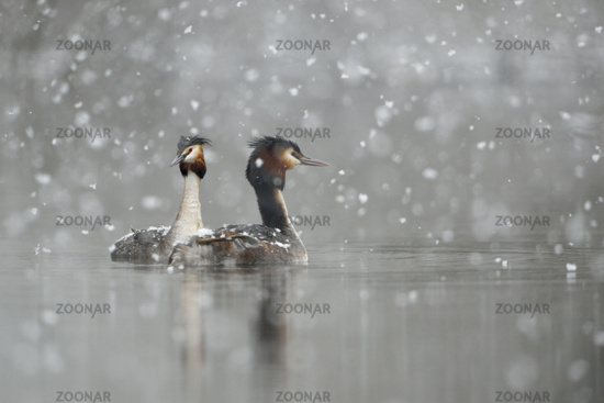 late onset of winter... Great Crested Grebes *Podiceps cristatus*