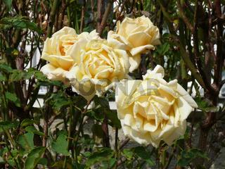 Rosa, Edelrose, rose