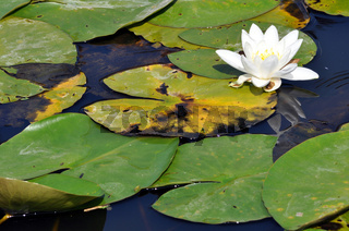 Water lily resting in a pond