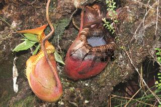 Nepenthes villosa-Villosa Pitcher Plant-Malaysia