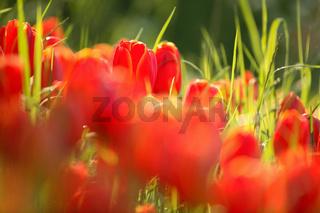 Tulpen, Tulipa, Tulips