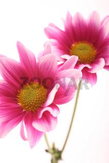 Chrysanthemen (Chrysanthemum)