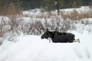 durch den hohen Schnee... Elch *Alces alces*