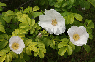Rosa rugosa Alba, Weiße Kartoffelrose, white rugosa rose