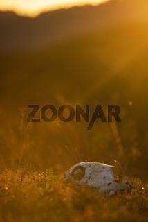 Animal skull in a atumn grass