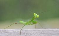 Green grasshopper over blurred background