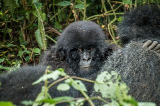 Baby Mountain gorilla hiding behind his mother.
