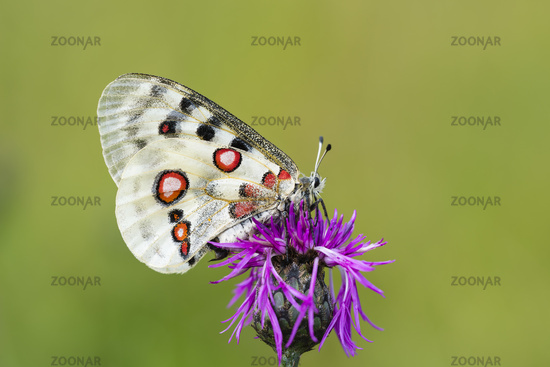 Female Apollo Butterfly, Parnassius apollo