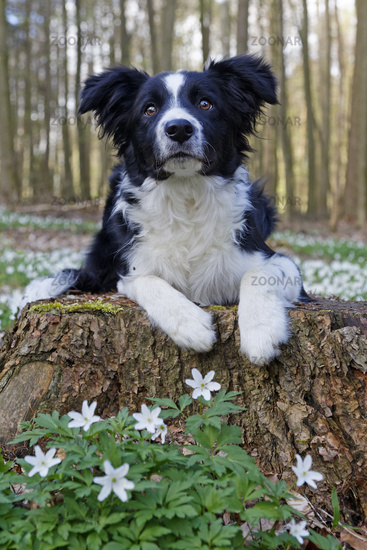 Border collie sitting in a forest, Schleswig Holstein, Germany, Europe