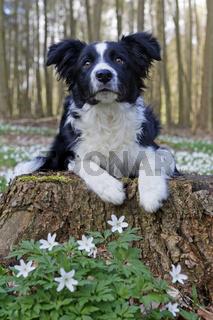 Border Collie sitzt im Wald, Schleswig Holstein, Deutschland