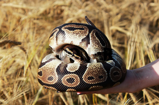 The snake Royal Python, or Ball Python regius rests on the hands of a field of ripe wheat Triticum, the end of August