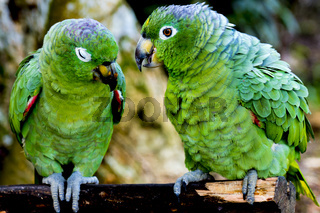 Green parrots closeup in Peruvian Amazon (Iquitos)