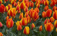 Blooming tulip field of orange tulips, Bollenstreek region, Netherlands