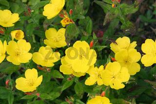 Evening primrose (Oenothera)