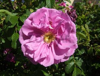 Rosa rugosa, Kartoffelrose, Rugosa Rose
